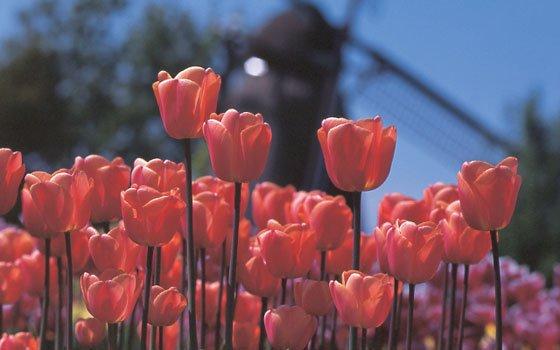 Tulipanes, bulbos de flor